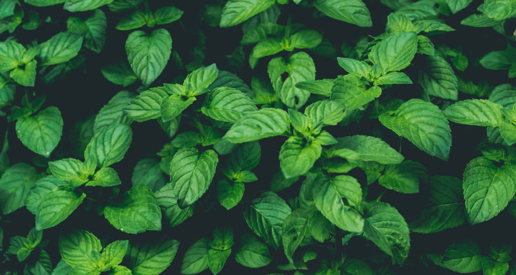 Aerial view of cluster of green mint leaves that are often used in organic toothpaste to your freshen breath